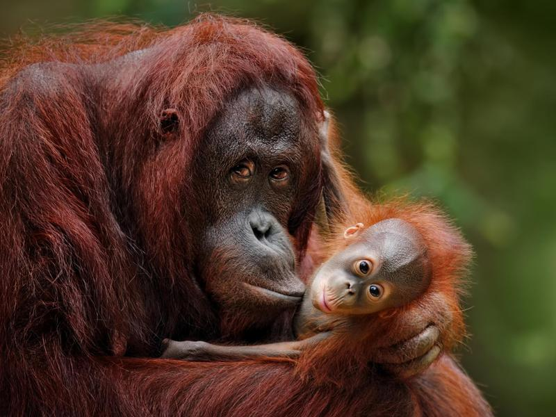 The only thing better than seeing a Bornean orangutan in the wild? Seeing a Bornean orangutan with her baby.