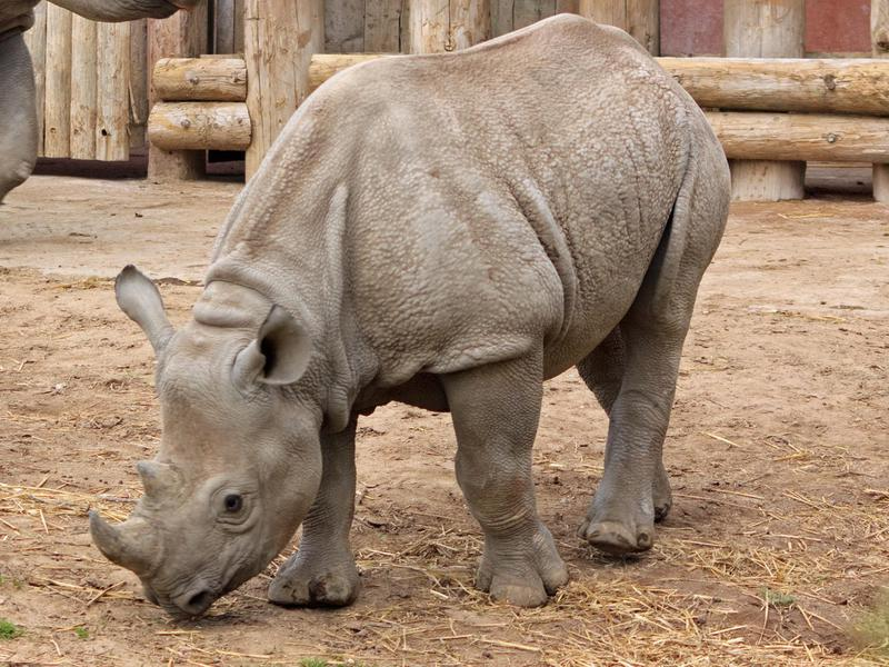 This unique rhino is now listed as critically endangered.