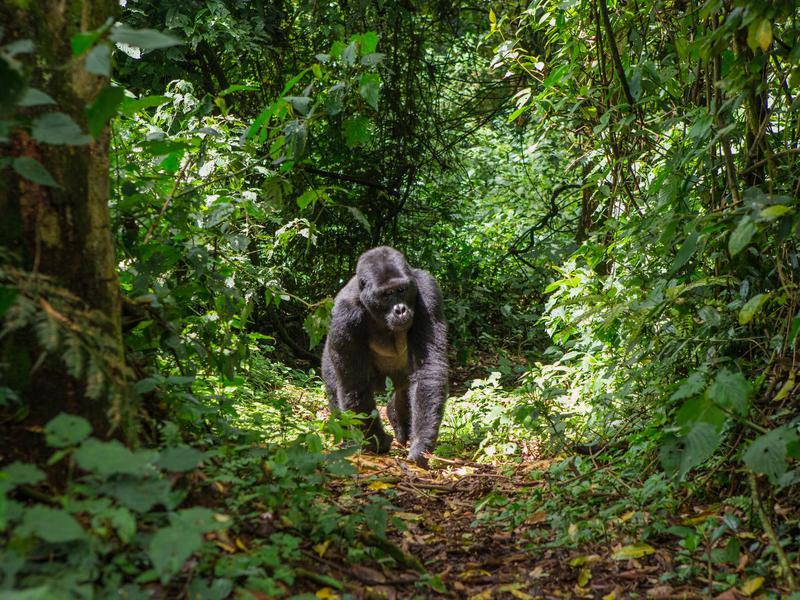 Seeing the endangered mountain gorilla will take your breath away.