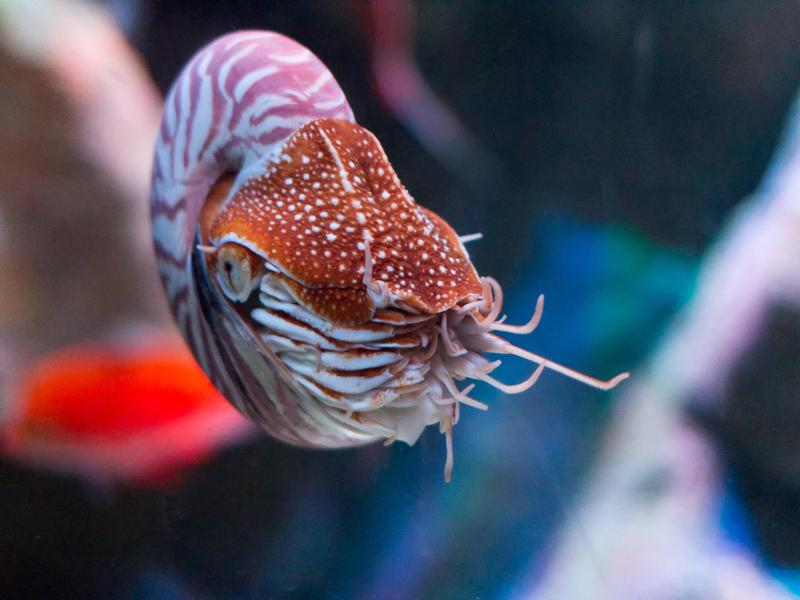 The Monterey Bay Aquarium is leading the charge to protect this one-of-a-kind animal.