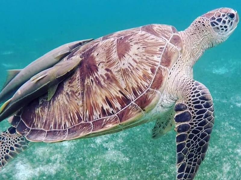 More than half of the Maldives' green sea turtle population lives in the waters surrounding Hurawalhi Island.
