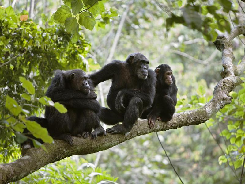 Chimpanzees are similar to humans, but unlike us, could soon be extinct.
