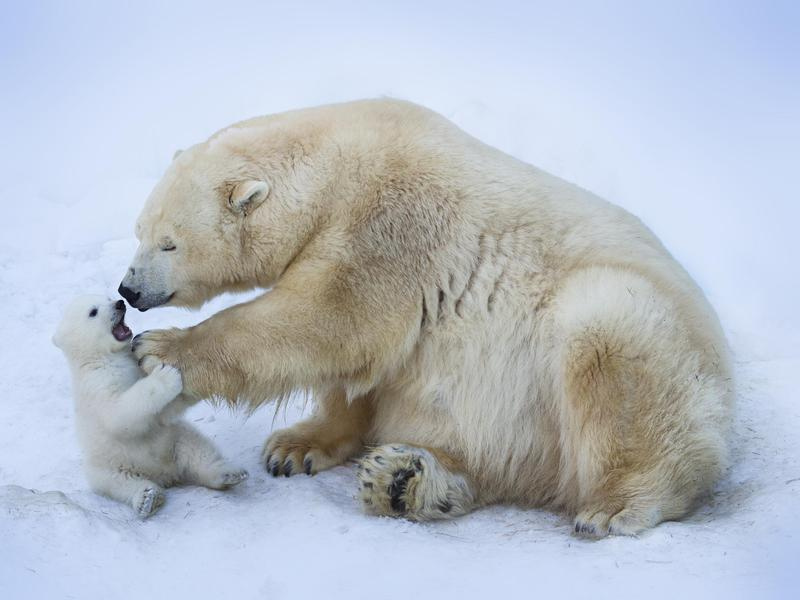 Polar bears are as adorable as they are extremely old.