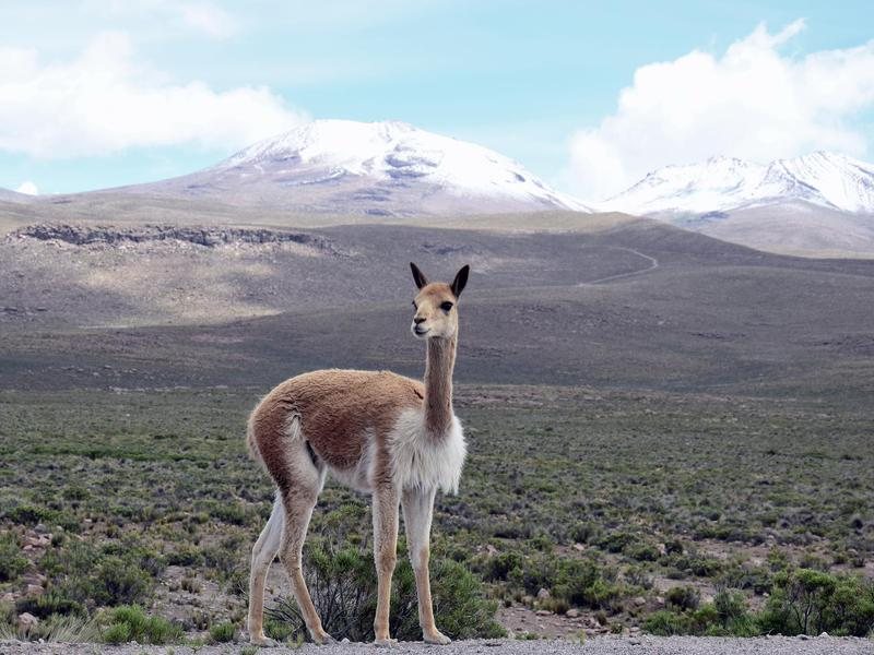 The gorgeous vicuña is the ancient ancestor of a well-known modern animal.