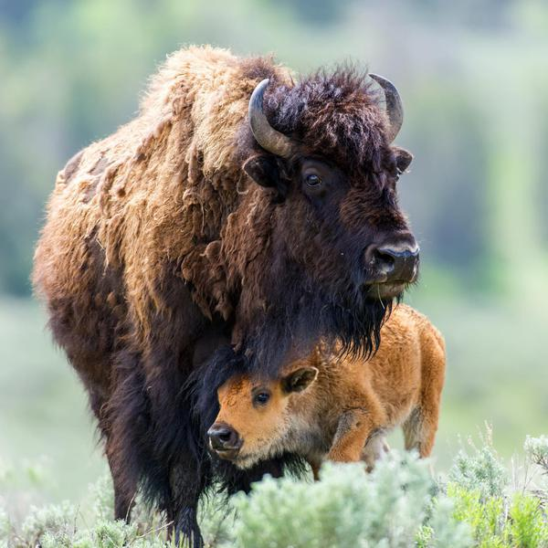 Must-See Animals in America's National Parks