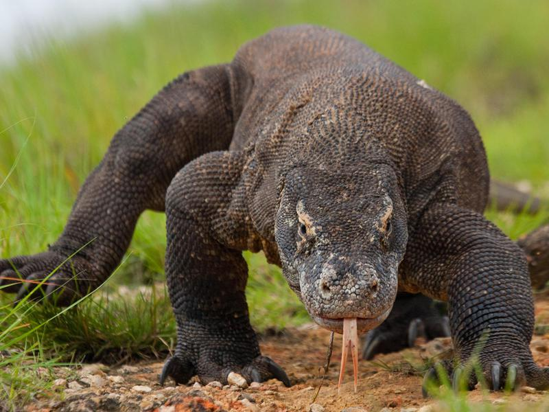 You don't want to get too close to the amazing Komodo dragon; its bite is venomous.