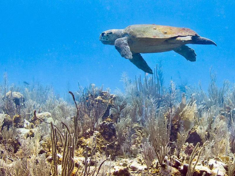 Placencia, Belize is home to 500 species of fish, as well as three wild sea turtle species — green, hawksbill and loggerhead.