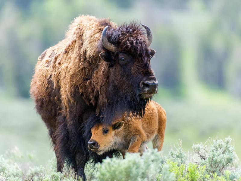 Must See Animals In America S National Parks Far Wide