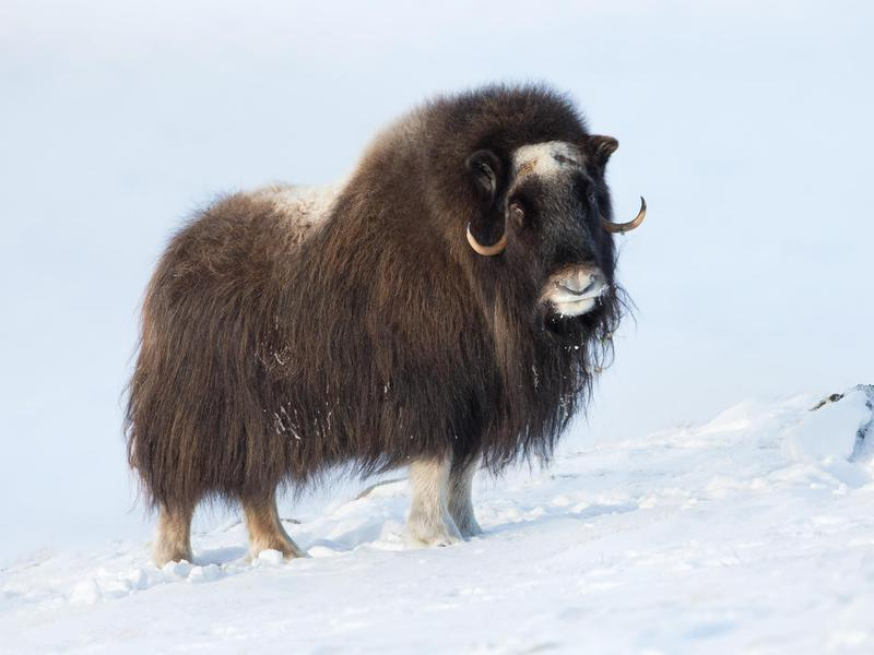 Musk oxen are most readily found in a small Alaskan town.
