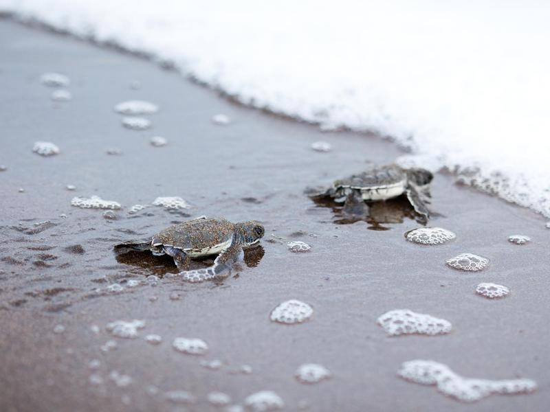 Two newly hatched turtles on their way into the ocean at Costa Rica's Tortuguero National Park.