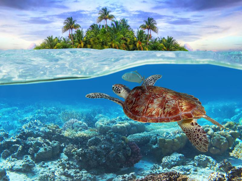 There are seven species of sea turtles around the world, all of which are vulnerable or endangered.
