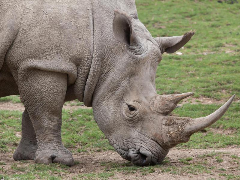 The horns of the Southern White Rhino are spectacular...and, unfortunately, coveted by poachers.