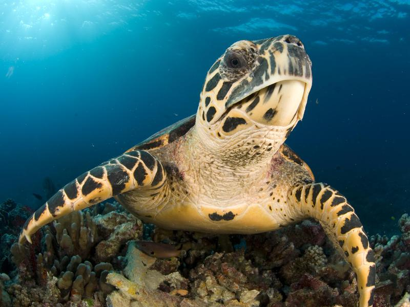 The amazing Hawksbill is under threat due to demand for its shell.