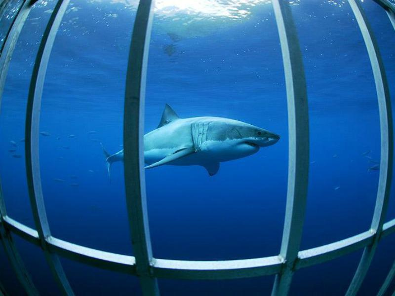 Don't worry: Great white sharks don't bite. Usually.