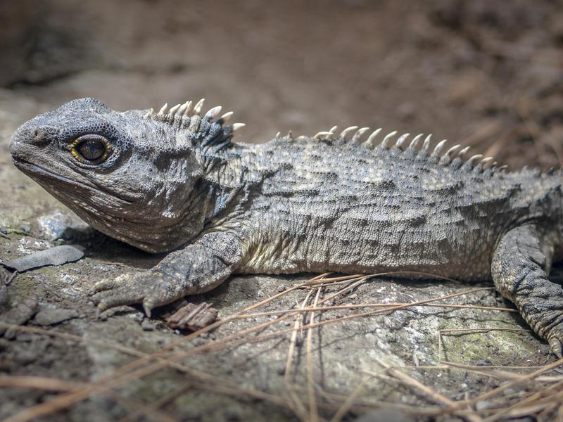 The tuatara looks somewhat ordinary, but is anything but.