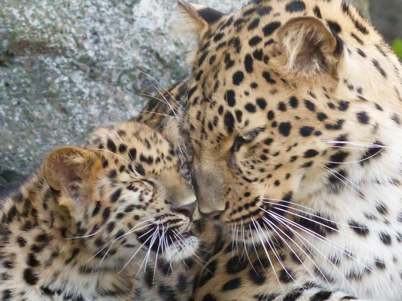 The Amur leopard is now critically endangered.